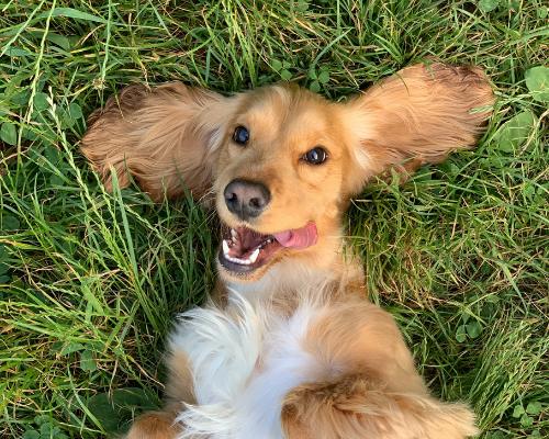 Zaszczepienie 70% psów może skutecznie zatrzymać wściekliznę